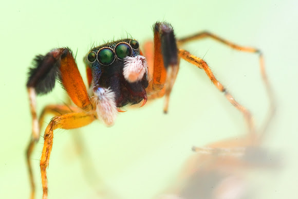 Colorful jumping spider - photo#54