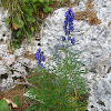 Preobjeda/Monkshood