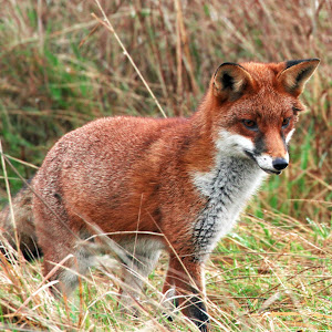 foxhunt1.jpg