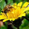 Long-horned bee, Abeja de cuernos largos