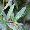 Oleander Beastie