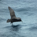 White Chinned Petrel