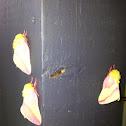 Rosy maple Moth