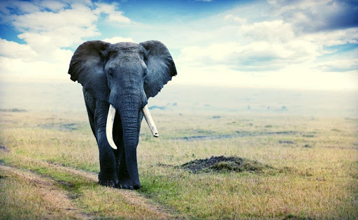 Elephant Live Wallpaper