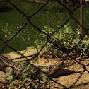 Aligator.