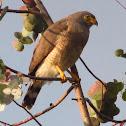 Gavilán - Sparrow hawk