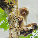 Pigtailed Macaque