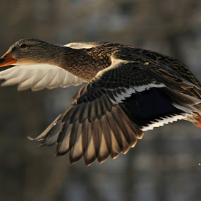flying away little ducky by Jackie McCorkle Tepe - Animals Birds