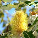Tropical Banksia
