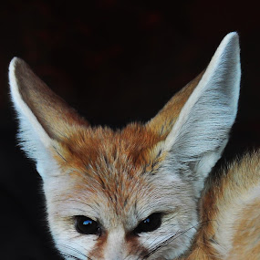Desert Fox by Ian Groves - Animals Other