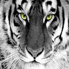 White tiger wallpapers HD icon