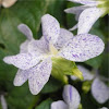 "Viola sororia ""freckles"""