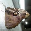 Cassia´s owlet/Mariposa búho