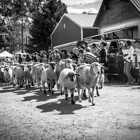 Sheep Run B&W by Will Ballew - Animals Other Mammals ( sheep run, mt, people, reed point )