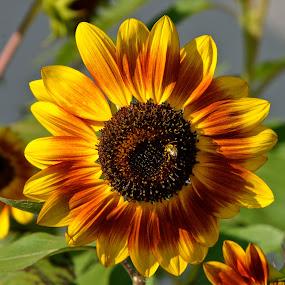 Sunflower by Carl Testo - Flowers Single Flower ( bee, sunflower, diner )