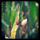 Half fly/ half maggot