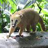 Coati, South American Coati