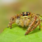Carrhotus Sp. (Female)