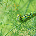 Anise Swallowtail Caterpillar