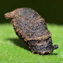 Warty Leaf Beetle Larva