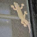 flat-tailed house gecko