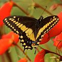 Papilio Polyxenes Stabilis