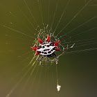 Double-spotted Spiny Spider