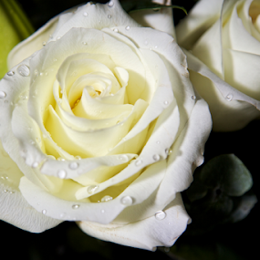 White Rose by Dave Files - Flowers Single Flower ( rose, white, flower )