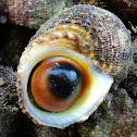 Cat's Eye Turban Shells