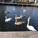 Knobbelzwanen/mute swans