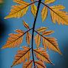 Goldenrain tree, Jabonero de la china