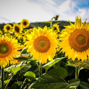 Three Sunflower Sisters by Dave Dabour - Flowers Flowers in the Wild ( donaldsons, sunflower farm, hope, Hope, colorful, mood factory, vibrant, happiness, January, moods, emotions, inspiration,  )