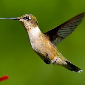 Fine Tuning My Camera by Roy Walter - Animals Birds ( flight, animals, hummingbird, wildlife, feathers, birds )