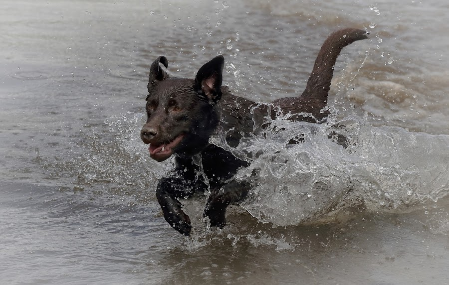 Labrador in the Water by Ceri Jones - Animals - Dogs Playing ( water, play, brown, fun, labrador, dog, young )