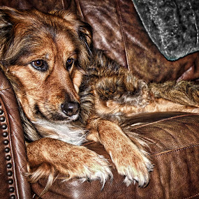 Layla by Jim Antonicello - Animals - Dogs Portraits ( layla, couch, dog portrait, leather,  )