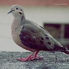 Tórtola torcaza - Eared Dove