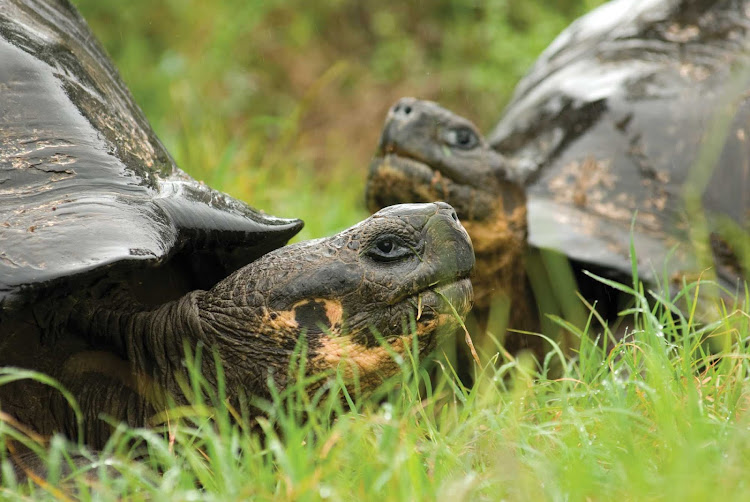 Two giant tortoises are spotted while on a Lindblad Expeditions tour of the Galápagos Islands.