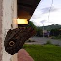 mariposa búho - owl butterfly