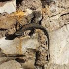 European Wall Lizard on the wall ;)