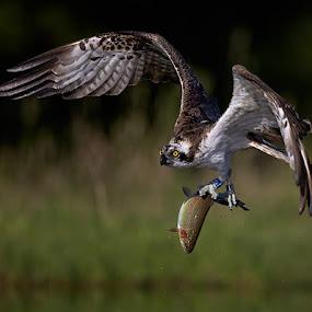Osprey with fish by Austin Thomas - Animals Birds ( bird, flight, predator, nature, fish, prey, eye, osprey )