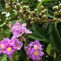 Giant Crape-myrtle, Pride of India