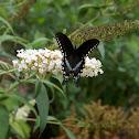 Spicebush Swallowtail male