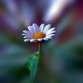 Marguerite Daisy by Orkidea W. - Flowers Single Flower ( orkidea, white, flowers, photography, marguerite,  )