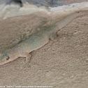 Tropical house gecko
