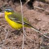 Blue-headed Yellow Wagtail; Lavandera Boyera