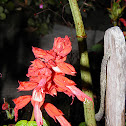 Scarlet Sage  (coral roja)