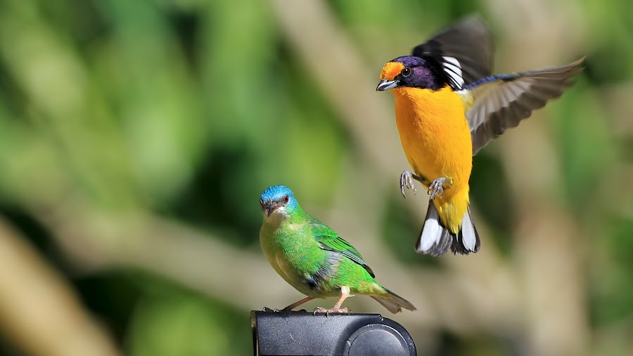 Landing!  by Itamar Campos - Animals Birds ( gaturamo male, blue dacnis female )