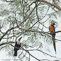 Guacamayo azul y amarillo (Ara ararauna) y tucán pechiblanco o tucán de pico rojo (Ramphastos tucanus)