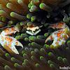 Porcelain Anemone Crab