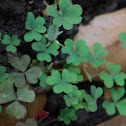 Common woodsorrell or Wood Shamrock